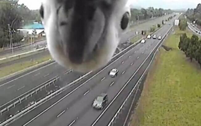 Cacatua encontra câmera de trânsito e se diverte durante alguns segundos
