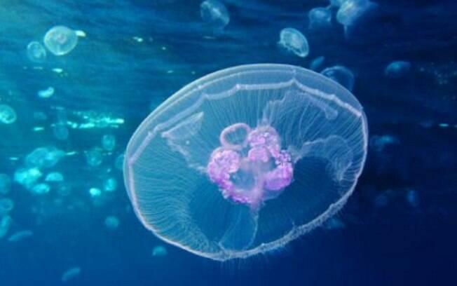 A medusa da lua é uma espécie de água viva