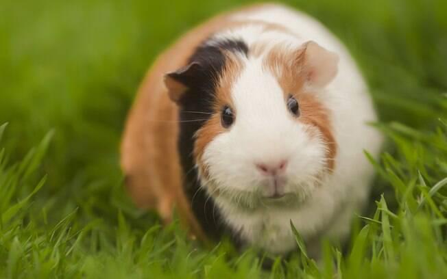 O capim pode ser muito benéfico para a saúde do porquinho, porém é bem mais difícil de encontrar e preservar