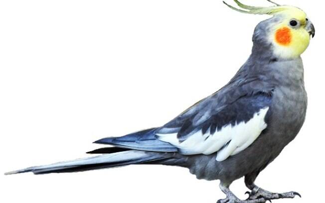 A calopsita é uma ave do mesmo gênero dos papagaios e araras