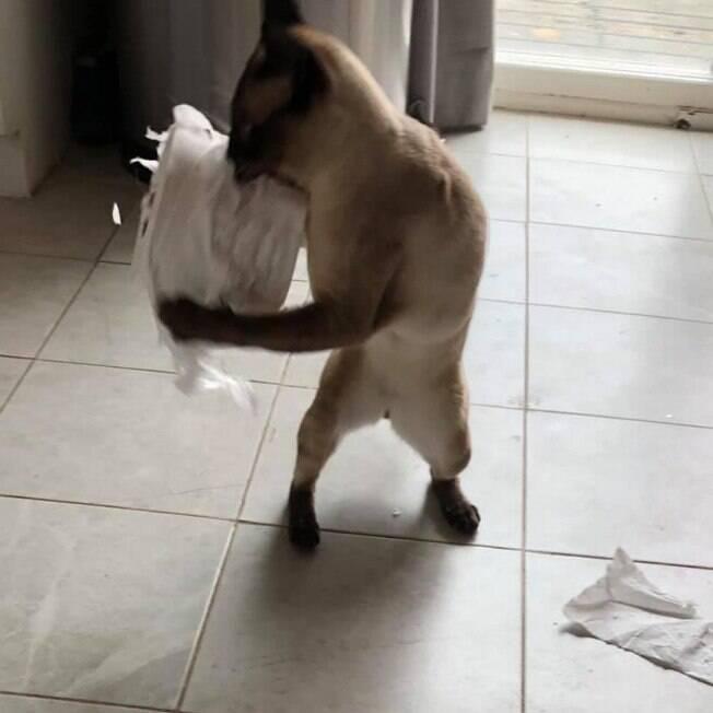 Gato roubando rolo de papel higiênico