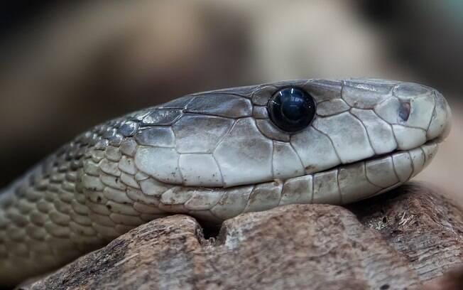 Um guarda florestal da Índia registrou uma batalha mortal entre uma cobra e um porco-espinho