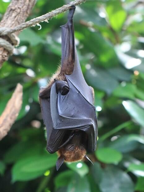 Morcego gigante