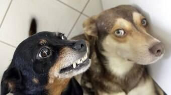 Estudos comprovam que cães menores são mais agressivos