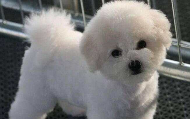 O bichon frise é um típico cachorro de família.
