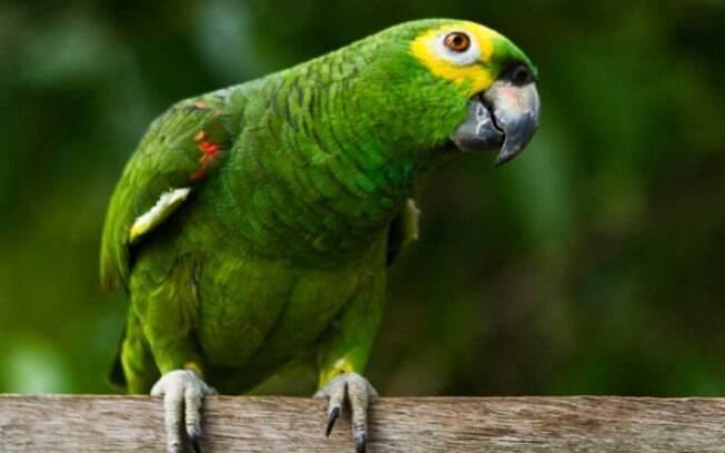 O papagaio é uma ótima opção para ter em casa