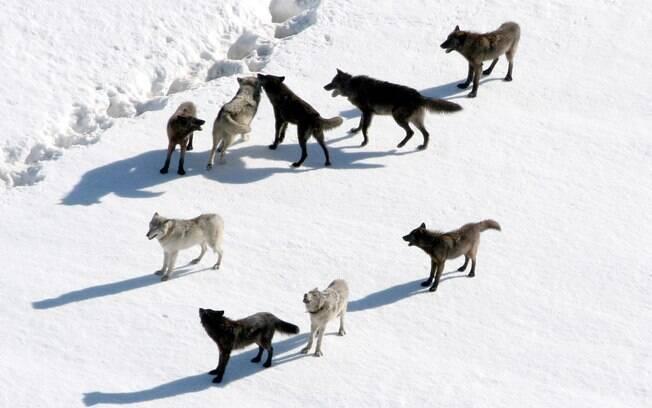 Parque Nacional de Yellowstone: a vida selvagem tipicamente norte-americana também é uma atração à parte