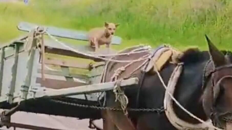 Cachorro guia charrete e viraliza na internet