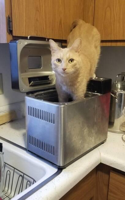 Gato amarelo dentro de máquina de fazer pão