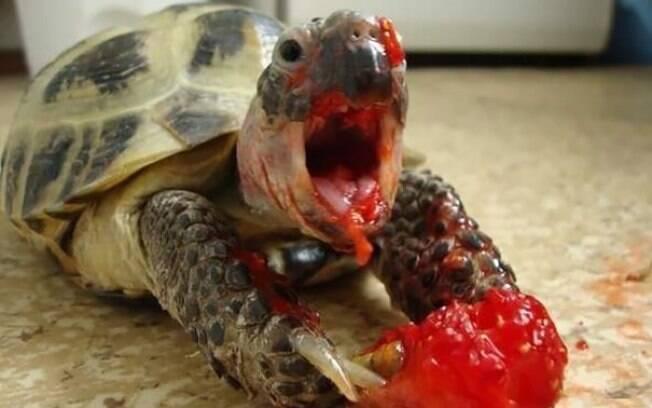 Tartaruga comendo morango.