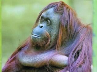 Poses. Sandra, a orangotango, passou o dia posando para diversas câmeras de fotografia no zoológico