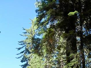 Gigante. Sequoias em Mariposa Grove