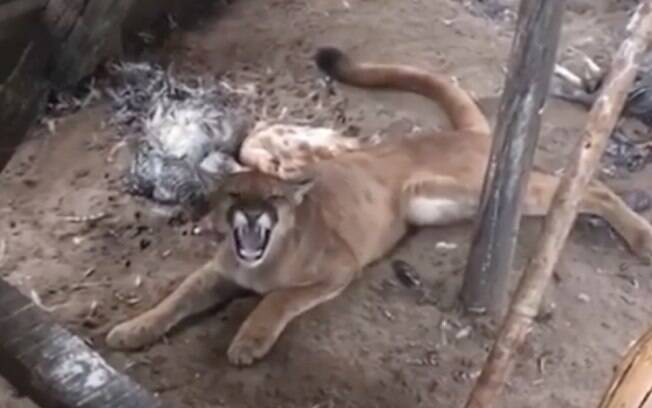 Onça parda matou 41 galinhas, mas não comeu nenhuma: felino evita se alimentar quando está estressado