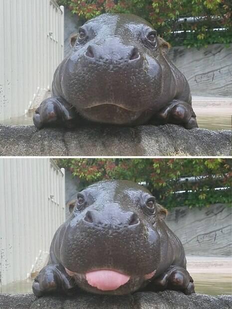 Fotos de bebês hipopótamos que vão melhorar seu dia!