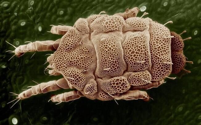 Há mais de 45 mil espécies de ácaros no planeta