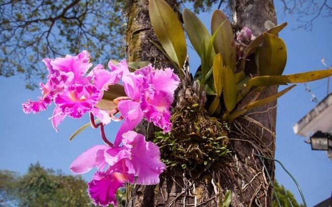 No destaque, a orquídea catleya é um exemplo de sucesso na fixação em troncos. Foto: Edu Cesar/Fotoarena