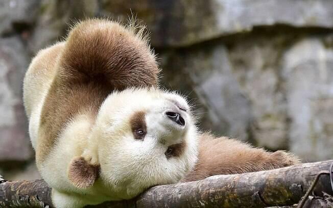 Urso panda marrom, único no mundo.