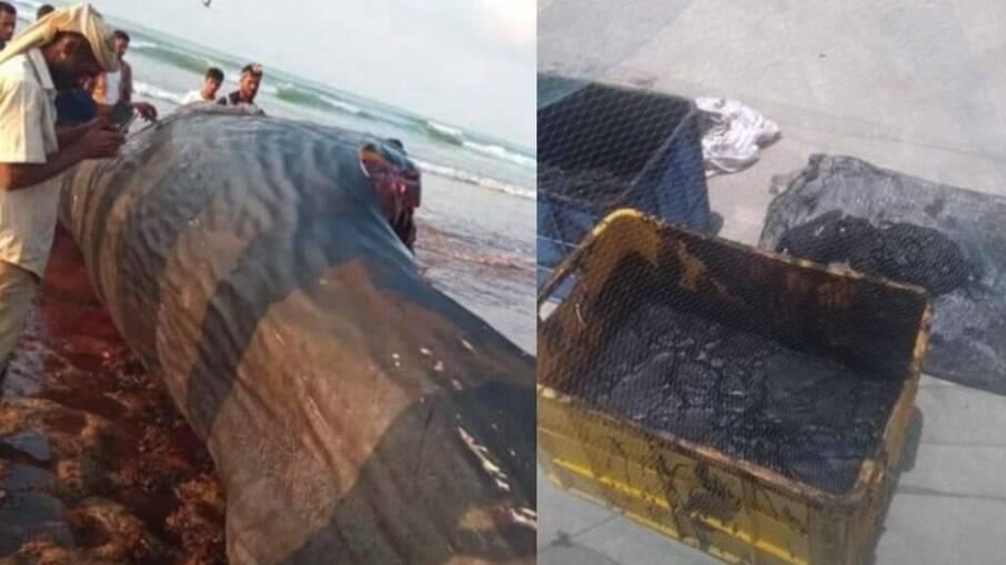 Pescadores encontraram âmbar-gris dentro de baleia cachalote