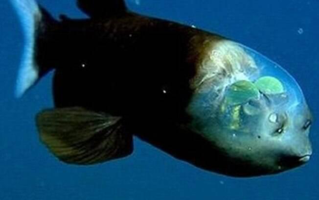 A Macropinna Microstoma é um peixe que possui a cabeça transparente