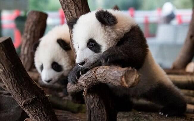Apresentação de filhotes de panda em zoológico de Berlim