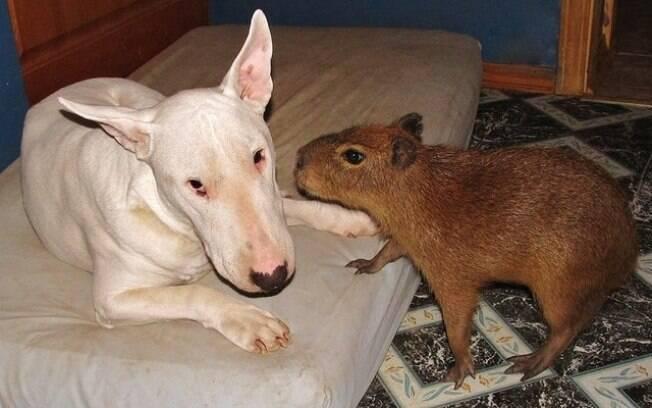 Capivara fofíssima ama todos os animais em sua fazenda