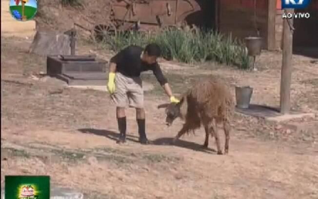 Felipe Folgosi empurra o pescoço da lhama após o animal pular em suas costas
