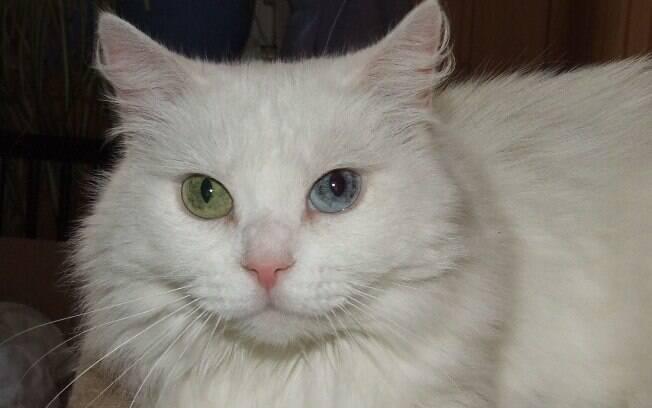 A cor dos olhos do gato angorá pode ser diferente