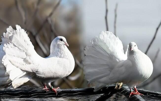 Saiba quais os cuidados necessários para ter um pombo de estimação