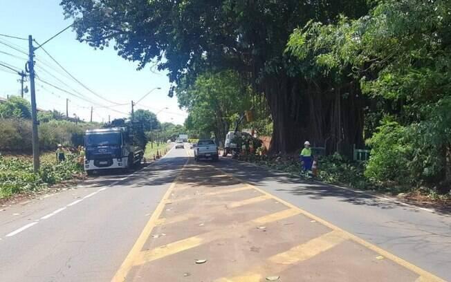 Moradores reclamam de poda em figueira na estrada da Rhodia, em Campinas