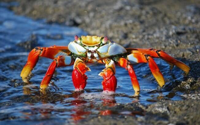 Preste atenção se o caranguejo é de cativeiro ou não, isso influencia na escolha
