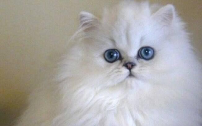 O gato persa branco é o mais popular