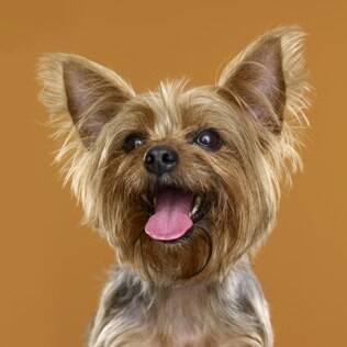 Yorkshire Terrier - undefined