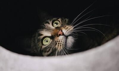 Entenda as funções e veja curiosidades sobre o bigode dos gatos