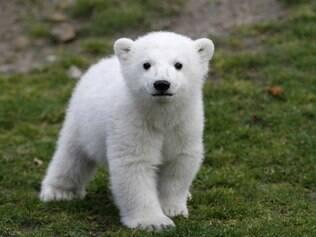 O filhote de urso polar Knut, nascido no zoológico de Berlim