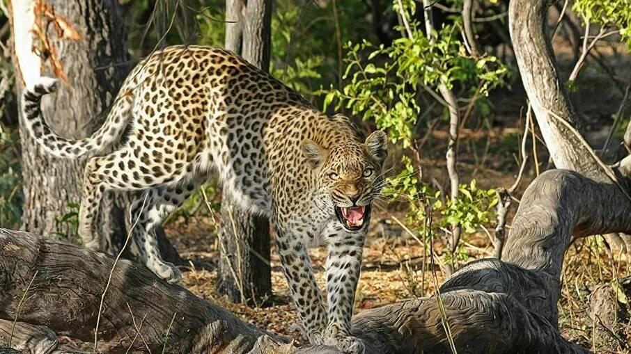 Leopardo ataca família na Índia