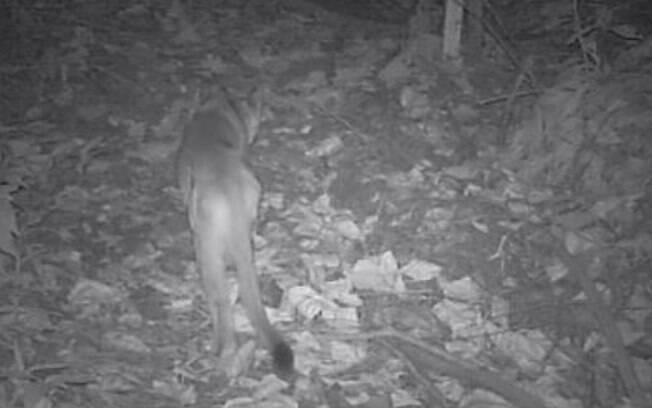Câmeras flagram mais um filhote de onça em Campinas