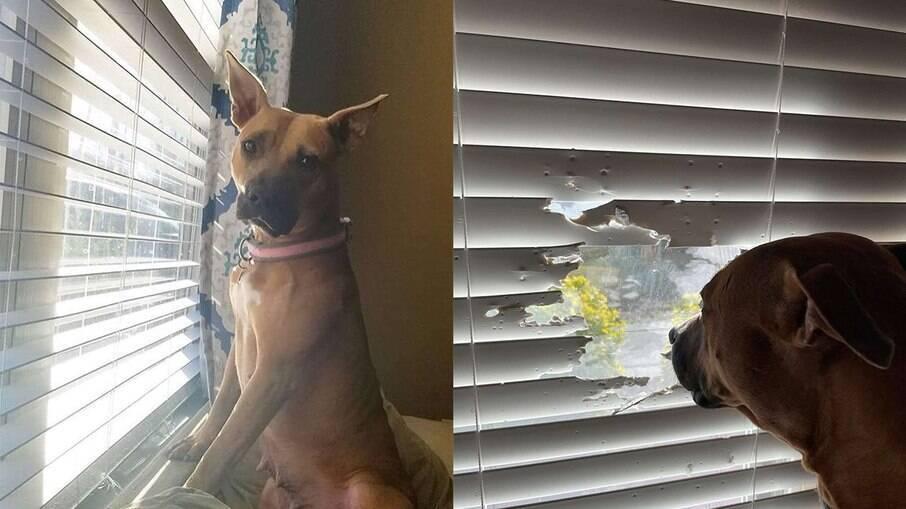 Cachorra faz buraco em persiana para olhar pela janela