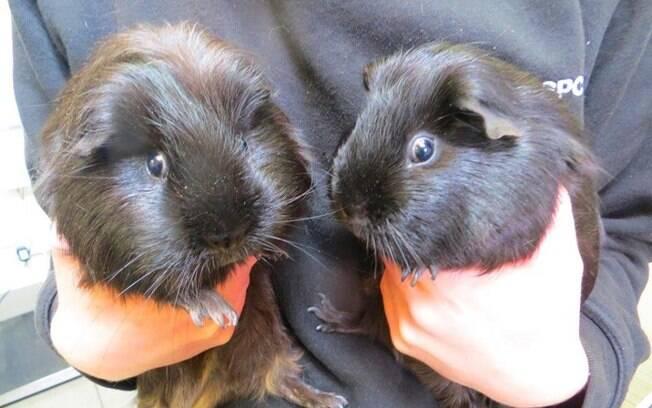 Os porquinhos foram resgatados e estão bem, procurando um novo lar
