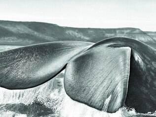 Registro.  Foto de uma baleia-franca-austral entre o golfo San Jose e o golfo Nuevo, na península Valdés, na Argentina, em 2004.