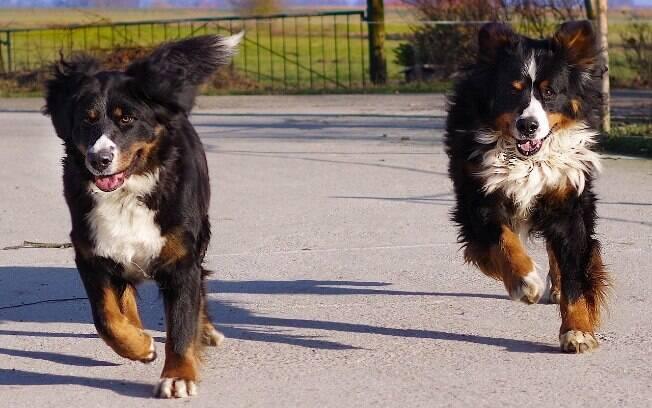 Bernese Mountain Dogs gostam de estar ao ar livre e praticar exercícios