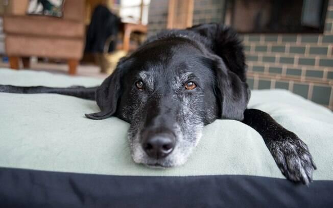 O cachorro idoso precisa ter uma atenção maior
