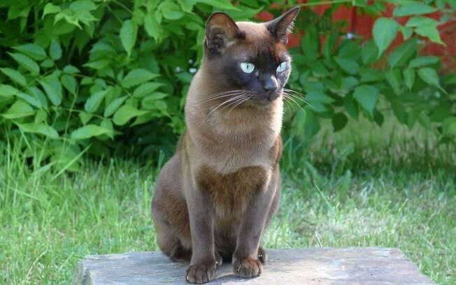 O Burmês é um gato pequeno extremamente inteligente e que precisa de atenção constante