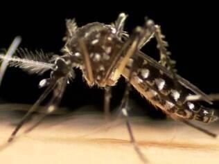 Os experimentos consistiram em liberar os insetos transgênicos em comunidades de Jacobina, na Bahia