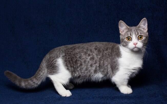 Suas patas curtas o tornam um gato singular