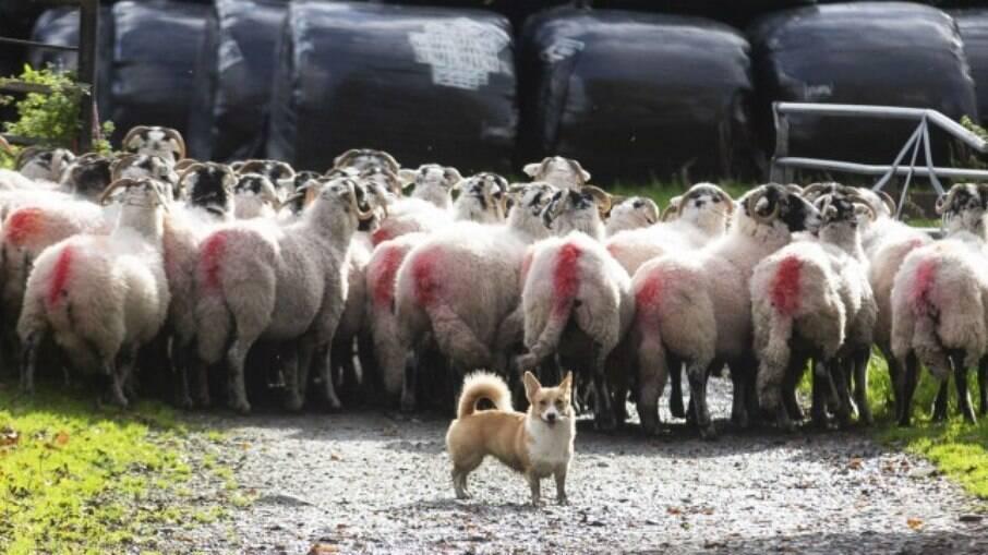 Corgi em trabalho de pastoreio em fazenda
