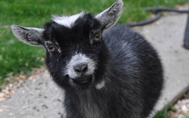Essas cabras famosas no Instagram derretem o coração de todos nós