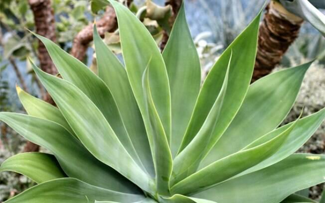 agave tem melhor cultivo a pleno sol, mas pode se desenvolver à