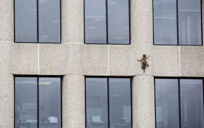 Guaxinim escala prédio de 25 andares e atrai a atenção dos internautas