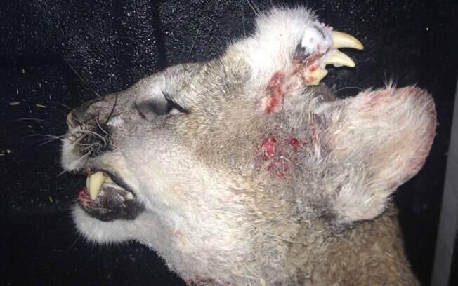 Imagem mostra deformidade na testa do puma, no estado de Idaho: origem segue misteriosa