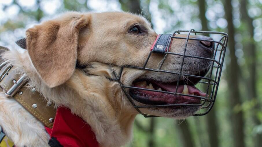 Para que o uso da focinheira não seja algo traumático, é importante acostumar o cão